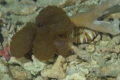 メリベ・コーラロフィリア Melibe coralophilia