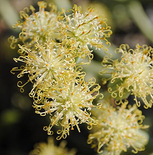 The astounding flowers of Senecio Longiflorus! by jungle mama