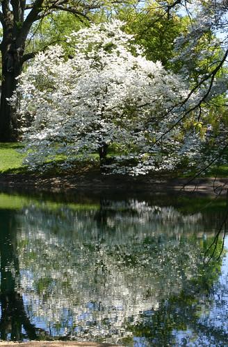 ohio white flower reflection tree cemetery pond dogwoodtree springgrovecemetery mygearandme mygearandmepremium mygearandmebronze mygearandmesilver mygearandmegold