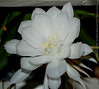 Night Blooming Cereus 2011