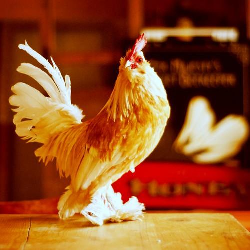 無料写真素材, 動物 , 鳥類, 鶏・ニワトリ