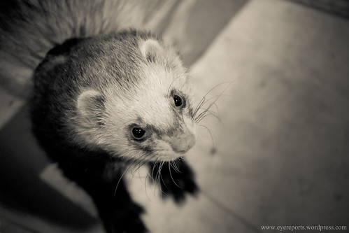 ferret by gomagoti