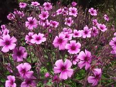 blossom(0.0), garden cosmos(0.0), pinkladies(0.0), lathyrus latifolius(0.0), annual plant(1.0), geranium cinereum(1.0), flower(1.0), plant(1.0), wildflower(1.0), flora(1.0), pink(1.0), petal(1.0),