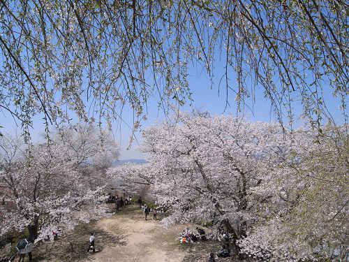 吉野の桜2011@吉野山-18