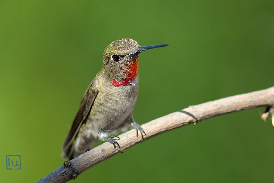 Anna's Hummingbird 041612-3