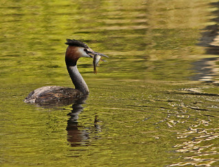 gt crested grebe with a perch for lunch