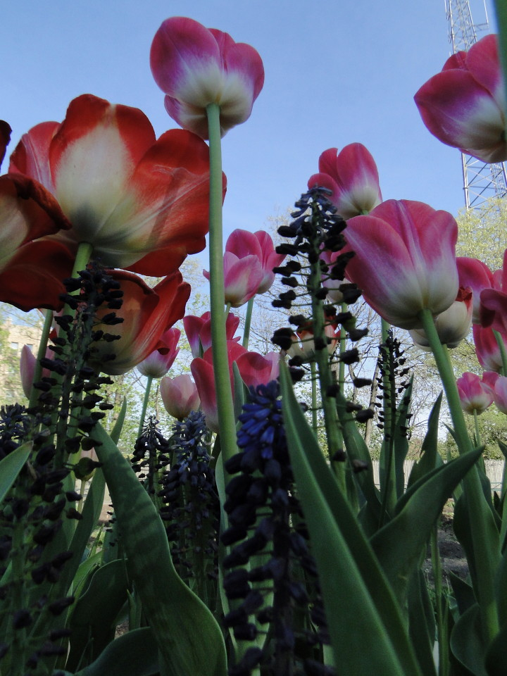 77-21apr12_4040_Botanical_garden_tulip
