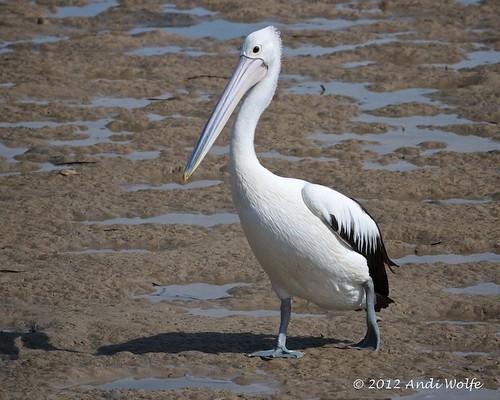 Australian Pelican by andiwolfe