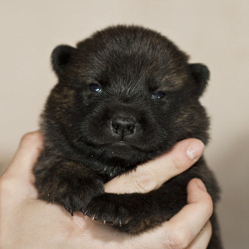 Haru-Third-Litter-Pup5-Male-Day15a
