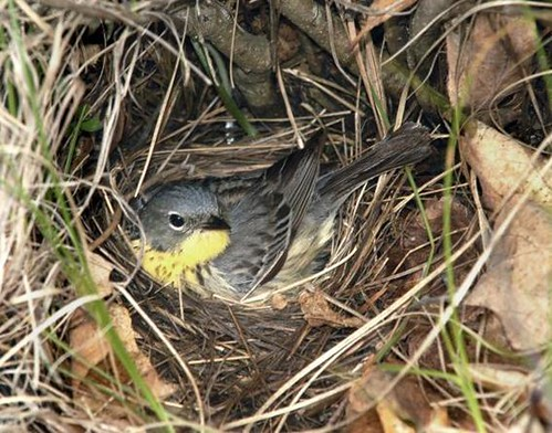 Female Kirtland's warbler on a nest - Huron-Manistee National Forest.  Photo by Ron Austing.