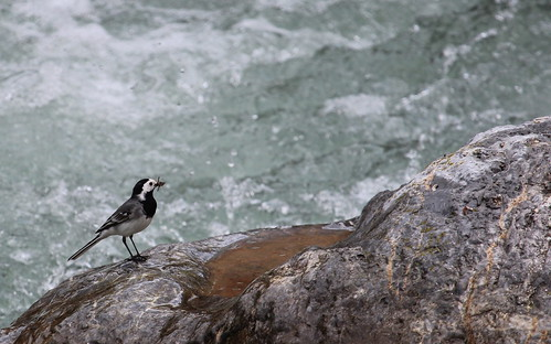 Pied wagtail by ricmcarthur