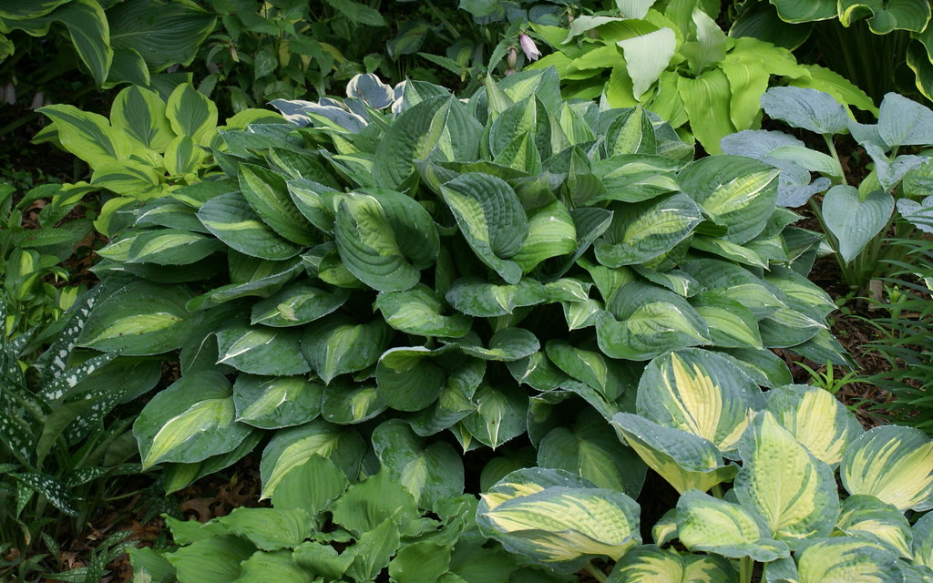 Hosta 'Striptease' (2) (07 & 08)-002