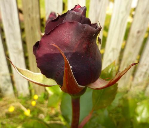 Black Rose by Bebopgirl1969