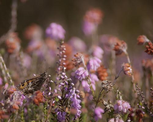 Summer Heathland