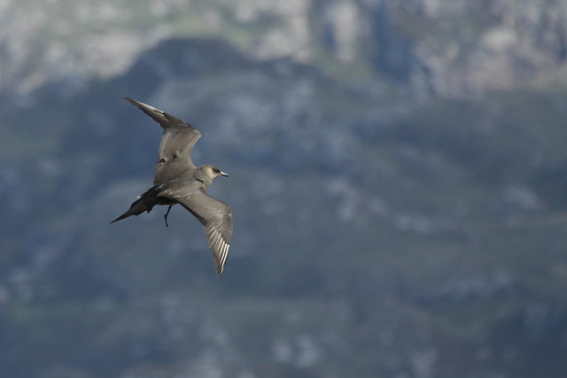 Arctic Skua- Up in the Air