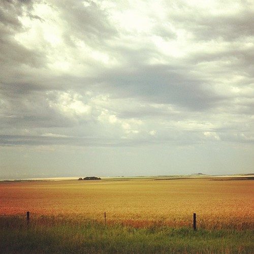 Amber waves of grain. #winterwheat #southdakota #prairie #weekendgetaway
