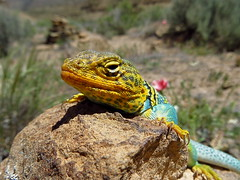 animal, amphibian, reptile, lizard, macro photography, fauna, close-up, lacerta, lacertidae, wildlife,