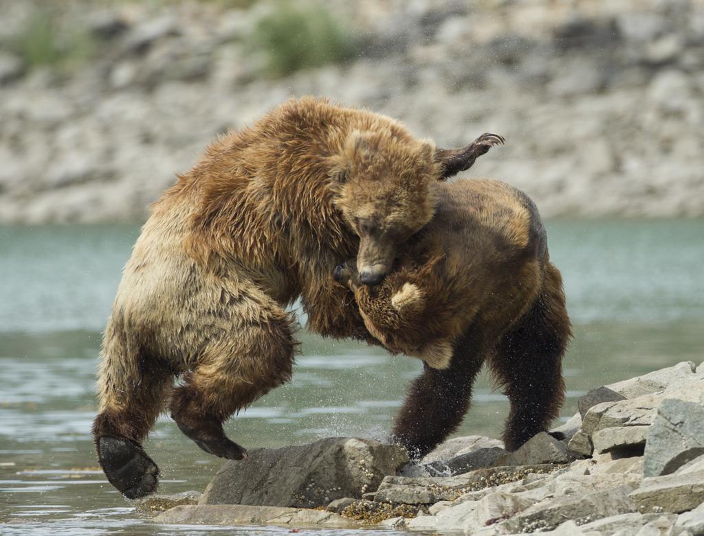 Bears in Alaska.