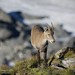 Small photo of Alpine ibex