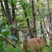 Whitetail Buck in Summer Forest by www.matthansenphotography.com