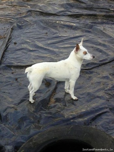 Sat, Aug 31st, 2013 Lost Female Dog - New-inn Village, Ballinasloe, Galway