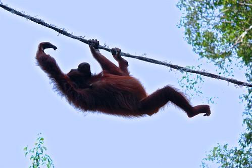orangutan rope skills