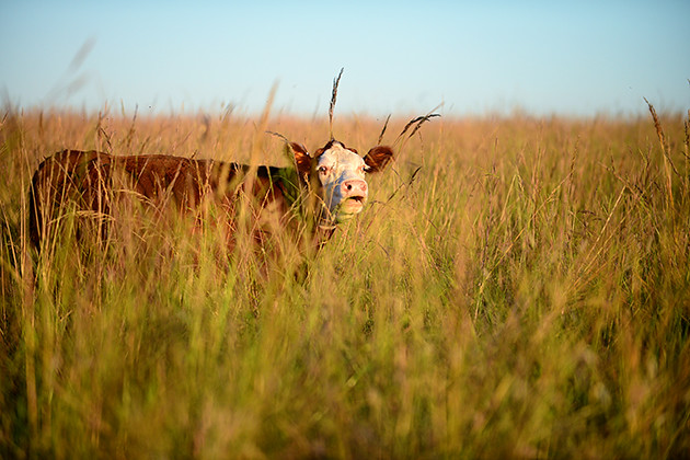 Cows in the Tallgrass