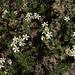 H20131003-9975—Leptosiphon nuttallii ssp pubesce…