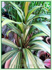 Variegated leaves of Cordyline terminalis or C. fruticosa (Ti Plant), 24 April 2014