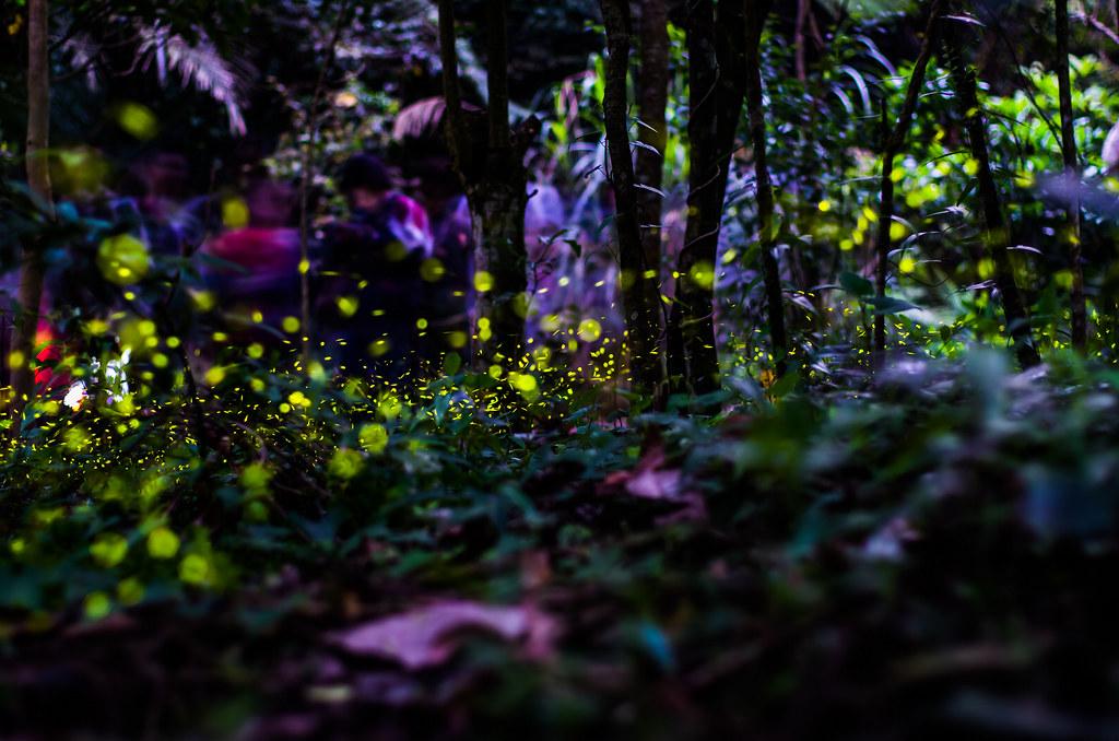 山中精靈-光的舞動。與螢火蟲的邂逅