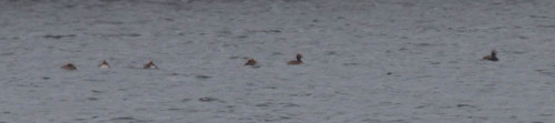 5 Horned Grebes and a Long-tailed Duck
