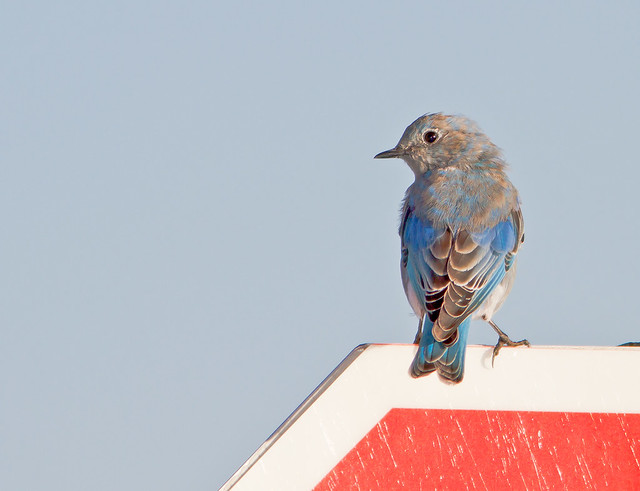 Western BlueBird_0076