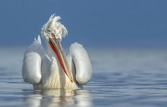 Kroeskoppelikaan / Dalmation pelican / Pélican frisé