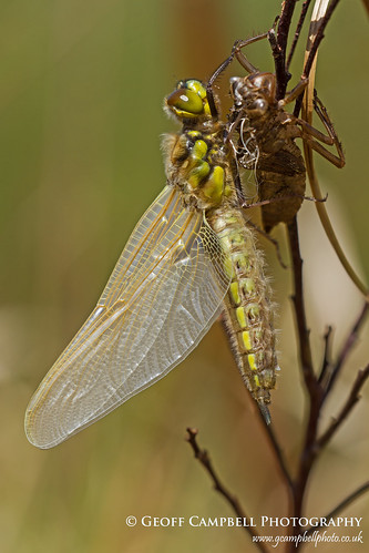 Emergent Four Spotted Chaser (Libellula quadrimaculata)