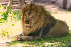 Lion Posed With Mane