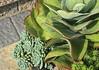 Succulents, II
