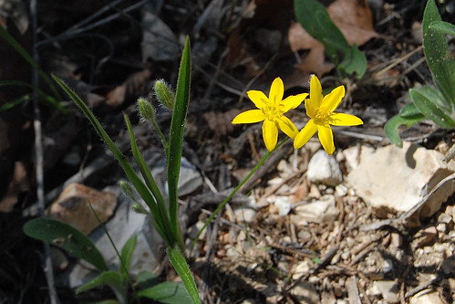 Picture of Common Golden Star, Hypoxis hirsuta, a yellow wildflower which grows on glades in the Missouri Ozarks.