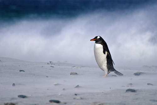 Gentoo Beach 1 by kevmitch04