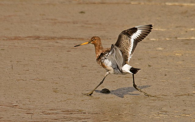 Black Tailed Godwit Summer Plumage 2SC