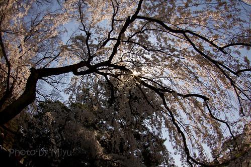 大きな枝垂れ