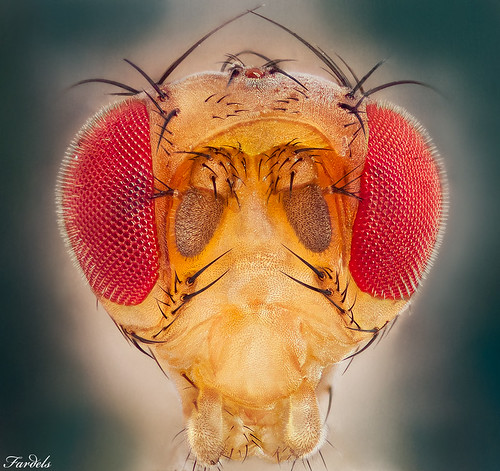FRUITFLY PORTRAIT - Drosophila melanogaster - 1x.com Published