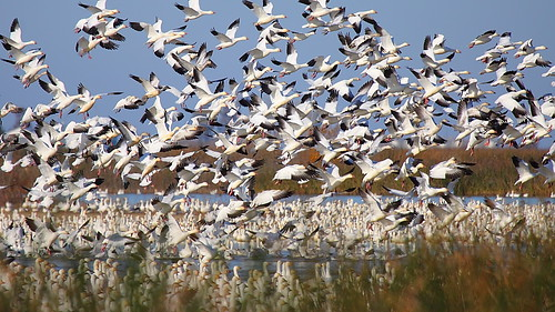 IMG_9350 Snow Geese Blast-Off, Sacramento National Wildlife Refuge by ThorsHammer94539