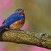 Eastern Bluebird in Early Spring Blooms