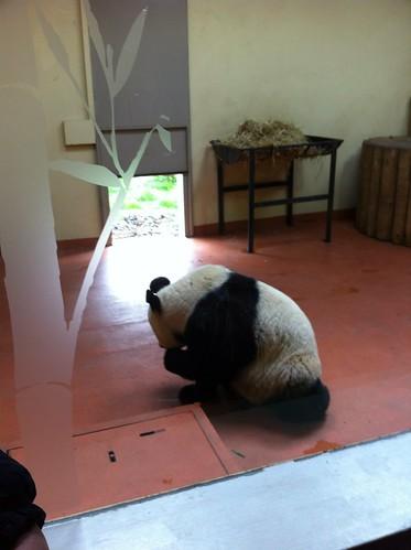Lady Giant Panda