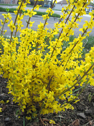"Forsythia ""Show Off"""