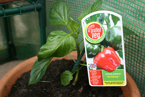 Grafted bell pepper