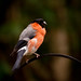 Bully The Bullfinch by cwiddie
