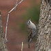 Small photo of Climacteridae - White-browed Treecreeper