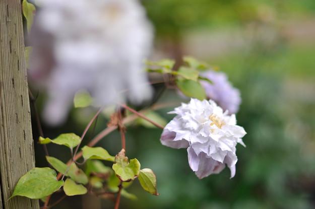 flower-vine