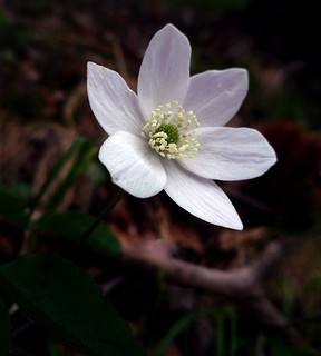 white on brown - Anemone dei prati